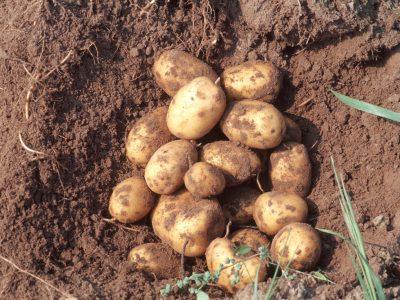 """Einladung zum Fachseminar """"Bio-Kartoffelanbau"""" 29.11.2018"""